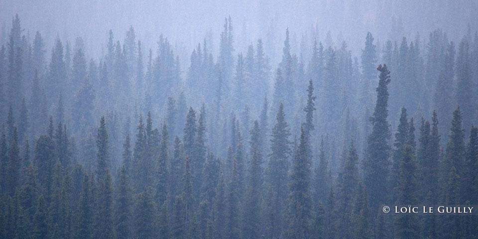 spruce in fog