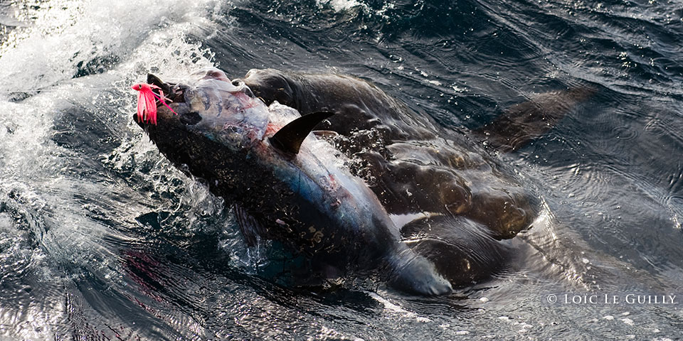 seal eating a tuna being fished