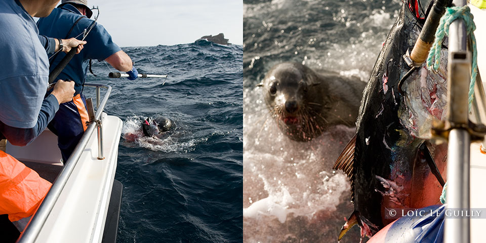 seal vs tuna vs man