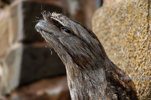 photo of a tawny frogmouth, Mt Wellington, Hobart, Tasmania
