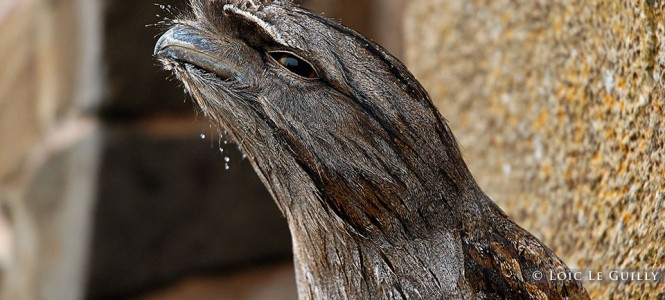 Tawny frogmouth on Mt Wellington, Hobart