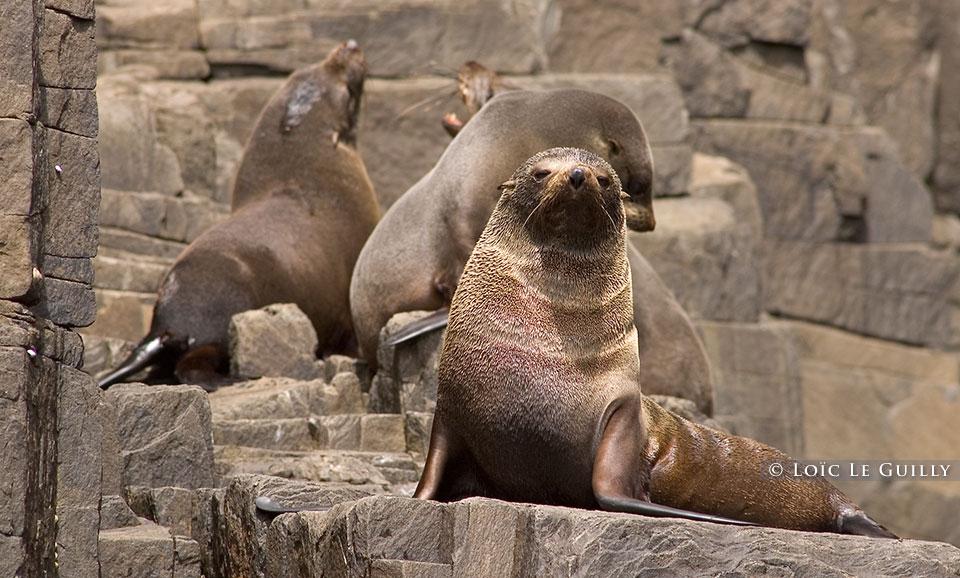 Seals, Bruny Island, Tasmania