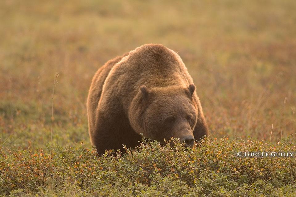 Bear, Alaska