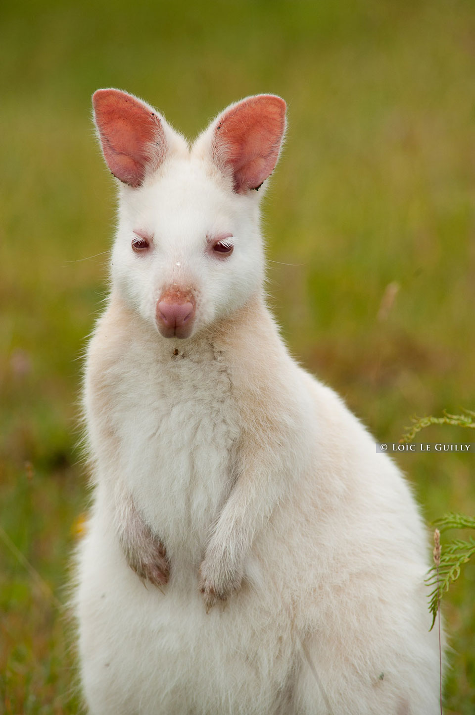 wild albino wallaby